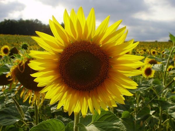 Sunflower by GayeHx