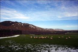 Loch Lomond Sheep