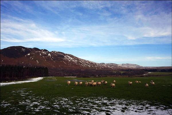 Loch Lomond Sheep by Anthony