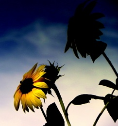Sunflower in the fading light