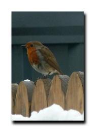 Brighter Winter Robin