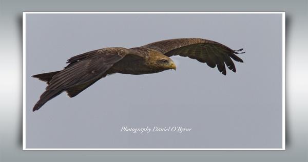 Tawny Eagle by danob