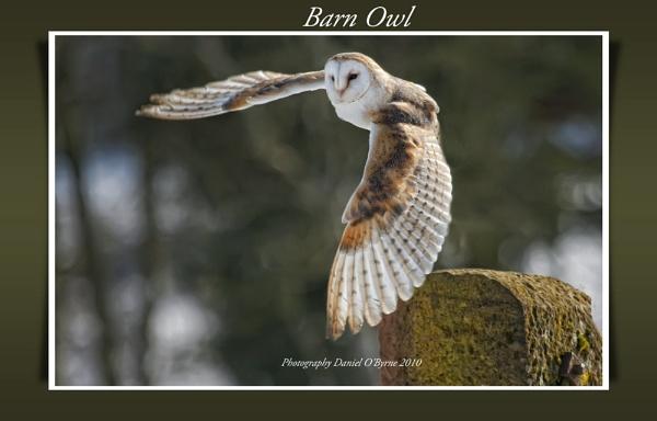 Barn Owl by danob