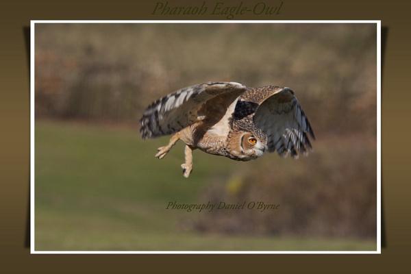 Pharaoh Eagle Owl by danob