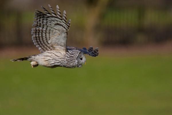 Ural Owl by danob