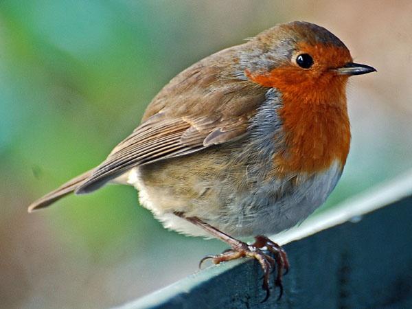 Robin by chocky