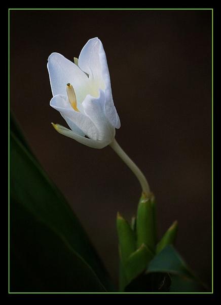 Hedychium, 1 & 2 by prabhusinha