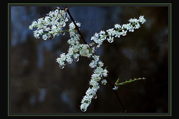 Weeping Asparagus, 1 & 2. by prabhusinha