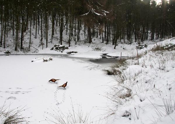 pheasant skating by adobedon