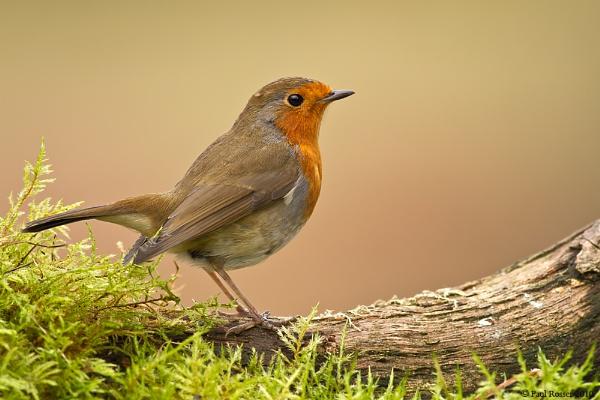Winter Robin by paulrosser