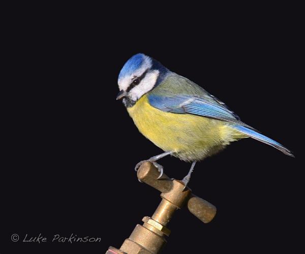 Blue Tit on Tap II by LukeParkinson