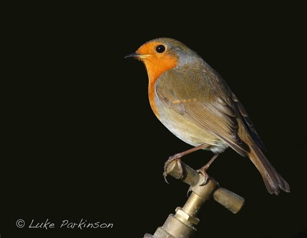Robin on Tap by LukeParkinson