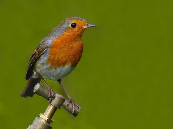 Robin on Tap II by LukeParkinson
