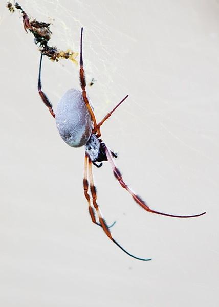 2010-12-17 5-00-45 PM - IMG_0659 Female Golden Orb Weaver Spider [Nephila edulis] by Degilbo