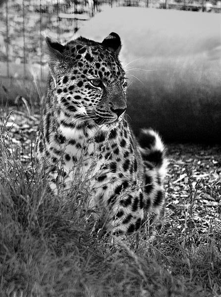 leopard in black &white by floxyz