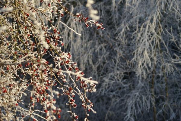 Snow Berries by rayjac