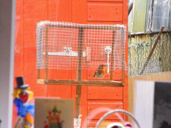 bossy robin by nutrunner