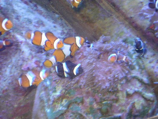 Nemo by PixieSprinkle