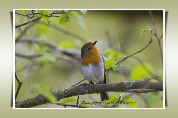 Birds Britannia: Robin by danob