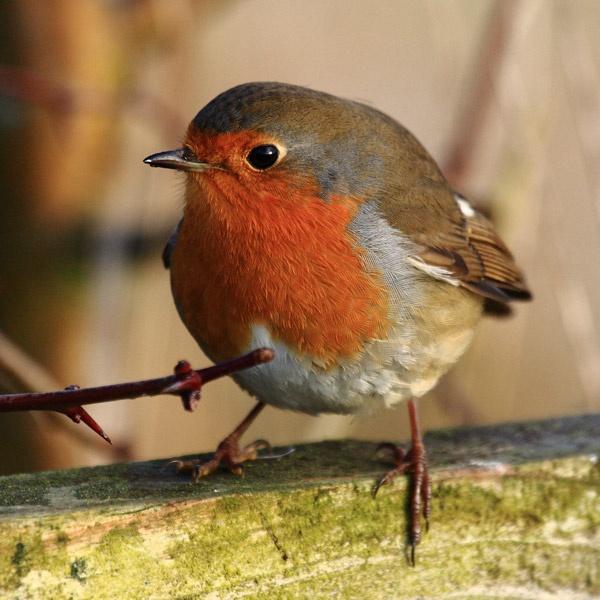 Robin by audi_db