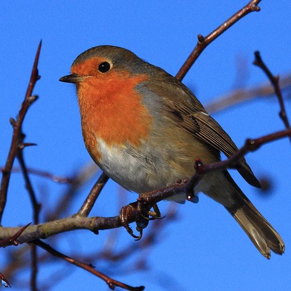 Robin II by audi_db
