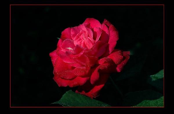 Rose 3,4 & 5 by prabhusinha