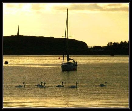 swans at oban by VIVIEN_R