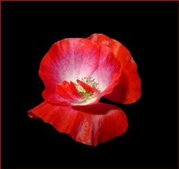 Poppy Squared