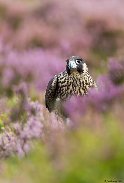 Perigrine Falcon by paulrosser
