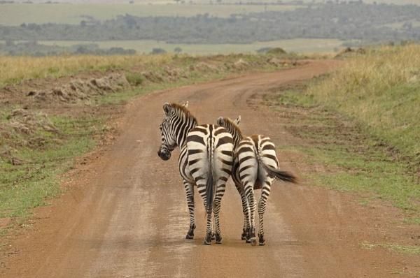 Masai Mara Zebras by Merbert