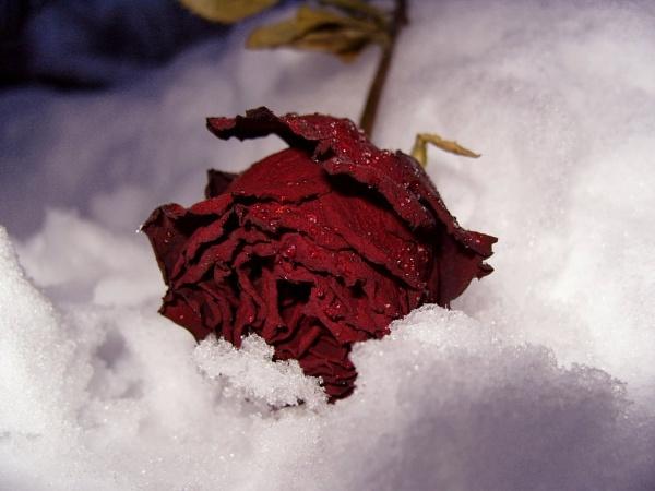 Frozen Rose by miss_v