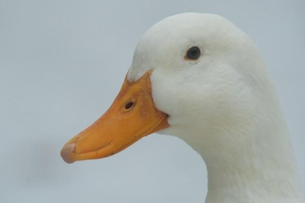 Snowy Goose by kieranmccay