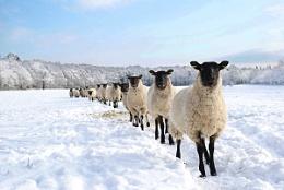 line of sheep