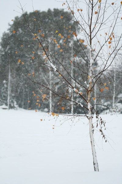 Silver Birch in the Snow by crazylady