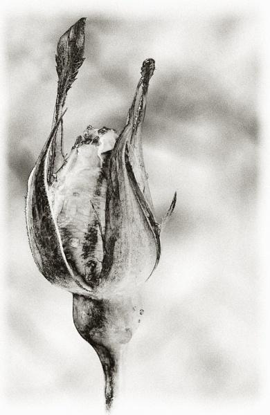 Winter rosebud by chavender