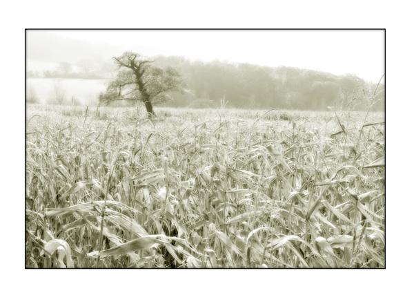 A Tree in a Cornfield by mookey