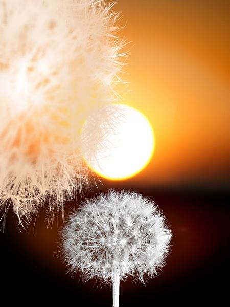 Taraxicum Sunset by mookey