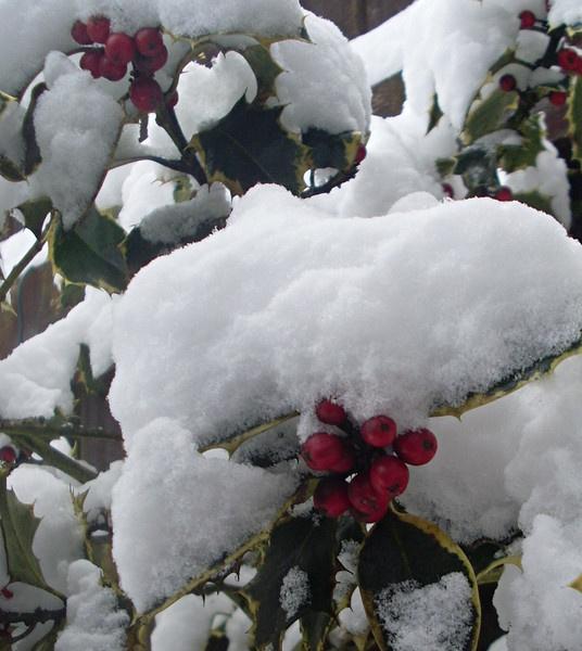 Winters Holly by kearney11