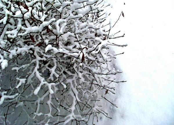 The Frozen Birds Eye Bush by kearney11