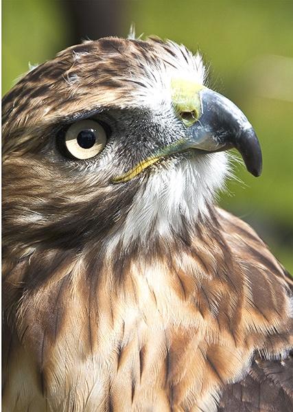 Hawk by RonW1123