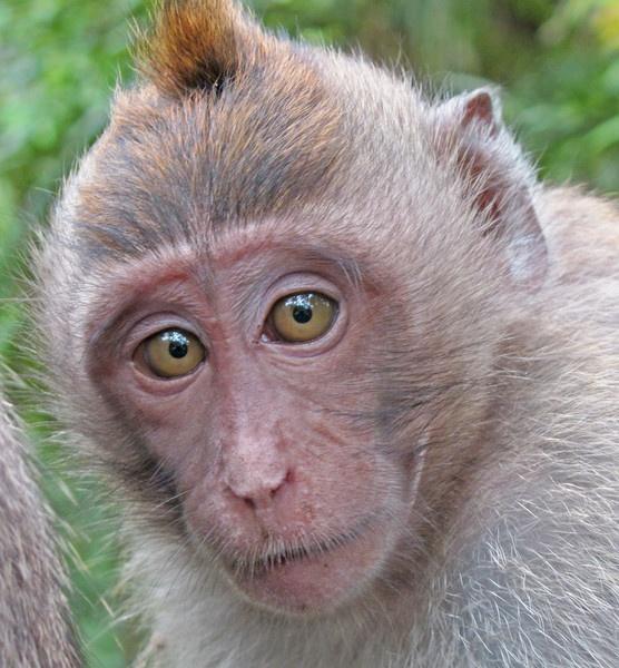 monkey in indonesia by tattsdurham