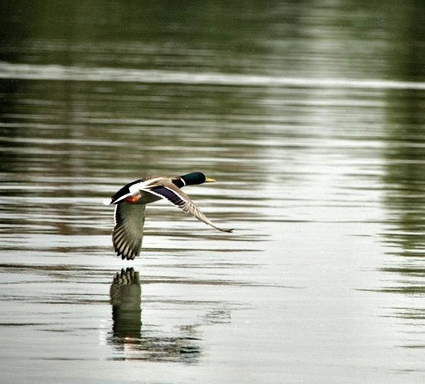 duck in flight by yaco