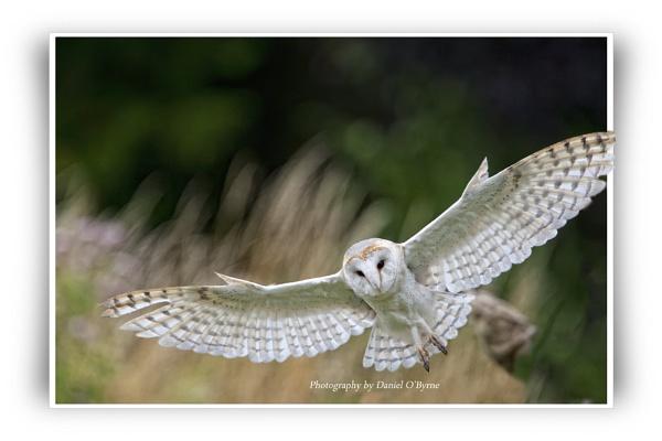 Hunting Barn Owl by danob