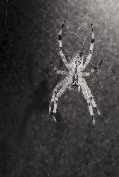 Spider by phillipwevans