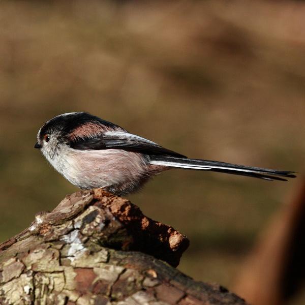 Long-tailed Tit (Aegithalos caudatus) by audi_db