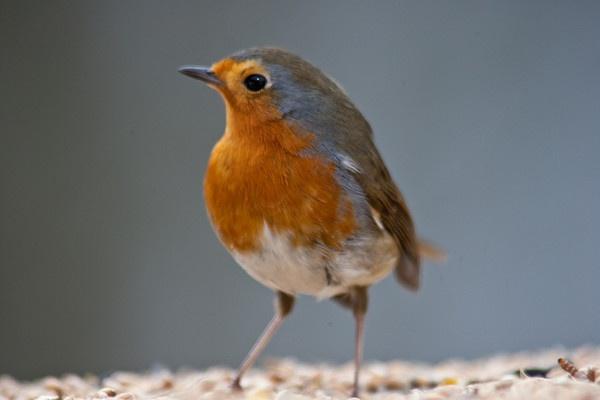 Robin by lammypaul