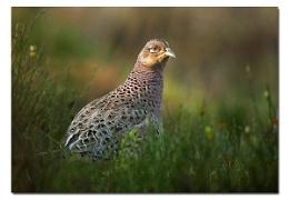 Pheasant ( female )