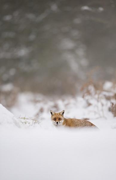 SIF Fox by Enmark