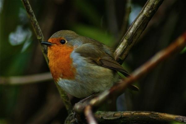 resting robin by LazFair