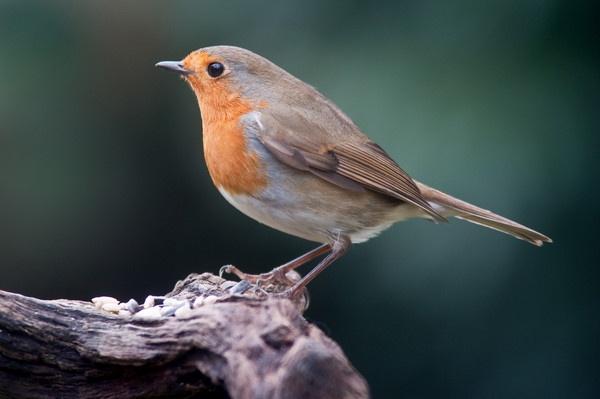 Robin by kieranmccay